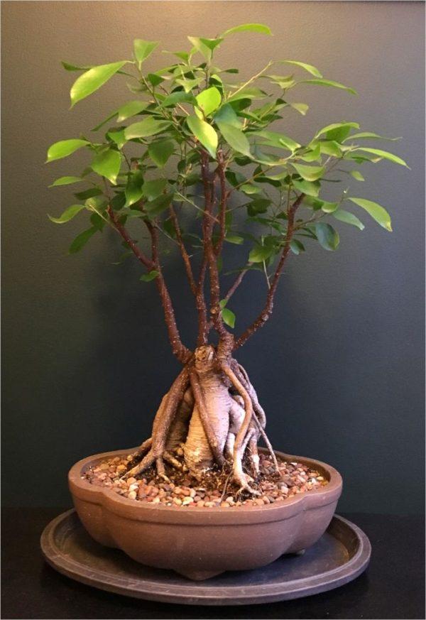 bonsai drvo naslovna